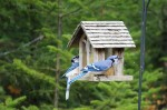 Two Bluejays
