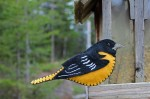 Baltimore Oriole Felt Pattern