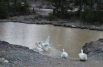 ducks have a rude awakening in an icy pond