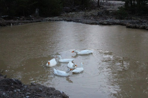 ducks circling in icy pond