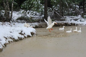 Ducks flying into the pond
