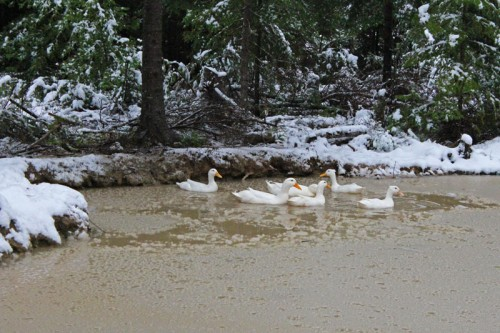 Pekin ducks in slushy pond