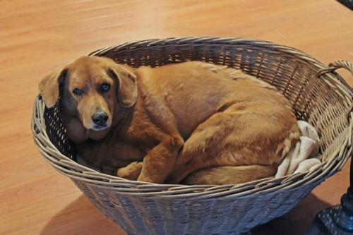 Ginger in laundry basket