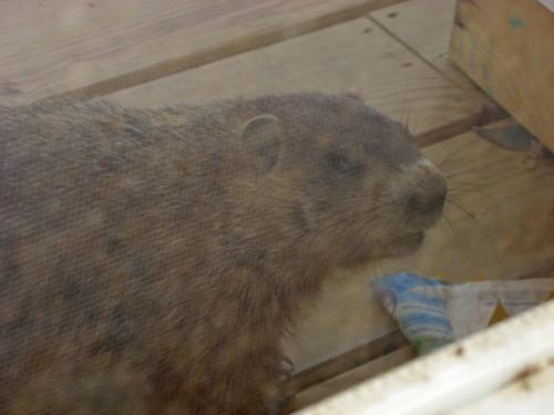 groundhog on porch