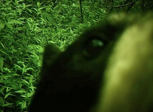 Maine Black Bear caught on wildlife camera
