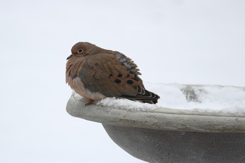mourning dove in snow