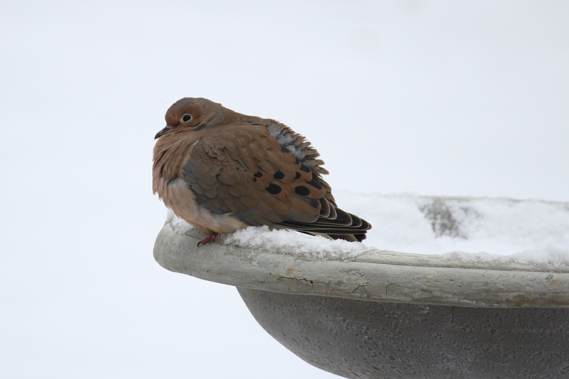 Mourning Dove on A Snowy Sunday