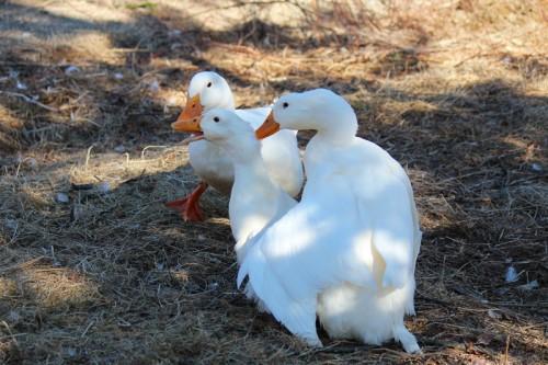 ducks-186