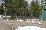 ducks-in-a-row