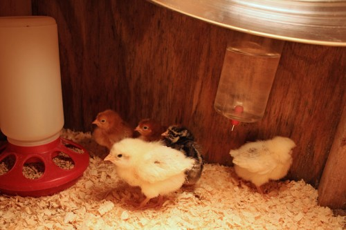 Rhode Island Red, Wyandottes, and Delaware Chicks