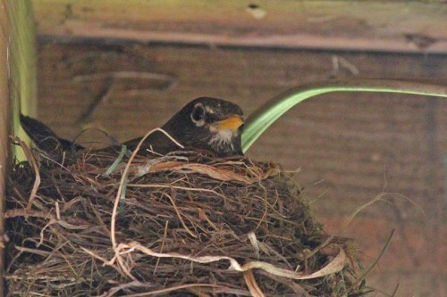 robin-in-nest