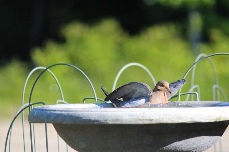A Visitor to the Garden Bird Bath