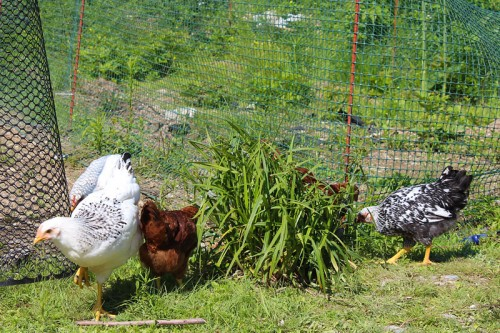 The new girls get their first taste of free ranging.
