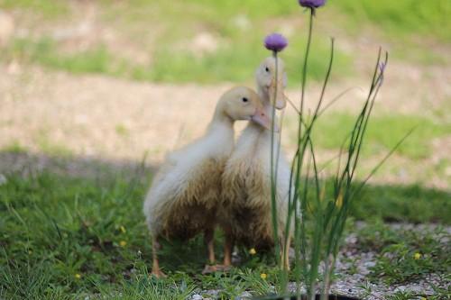 shy-ducks