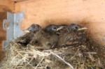 baby phoebes in nest