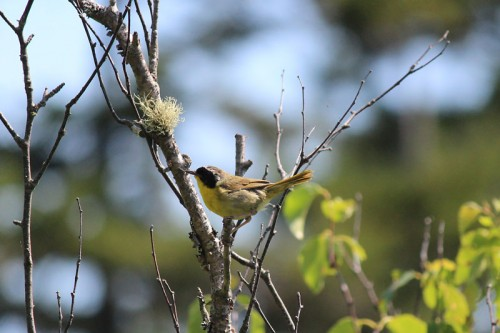 A Common Yellowthroat, I think!