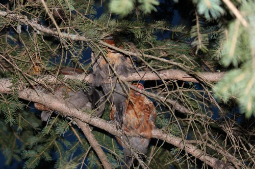 bantam chickens roosting in a fir tree