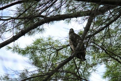 female-eagle