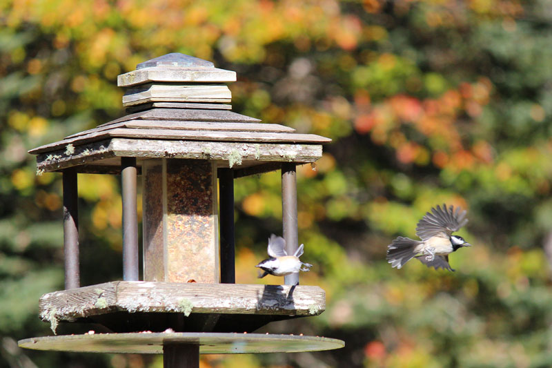 Chickadees in Motion