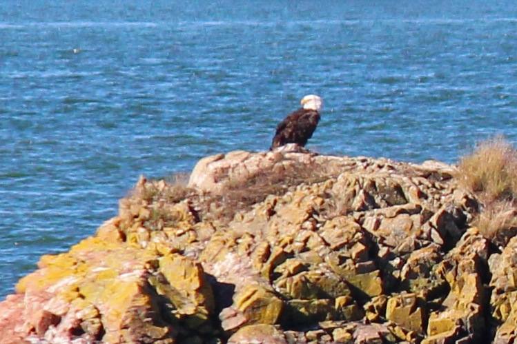 Seagull or Bald Eagle?