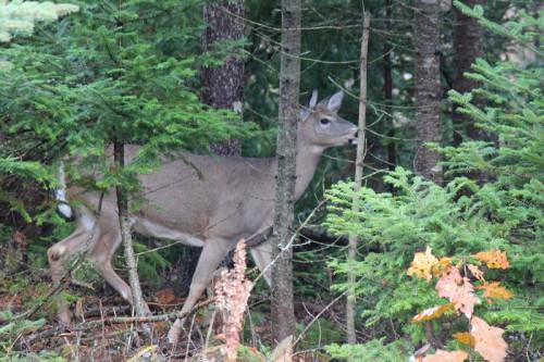 deer-073