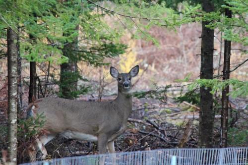deer-084