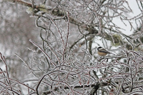chickadee-on-ice-2