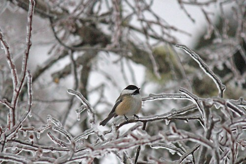 chickadee-on-ice