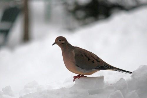 doves-107