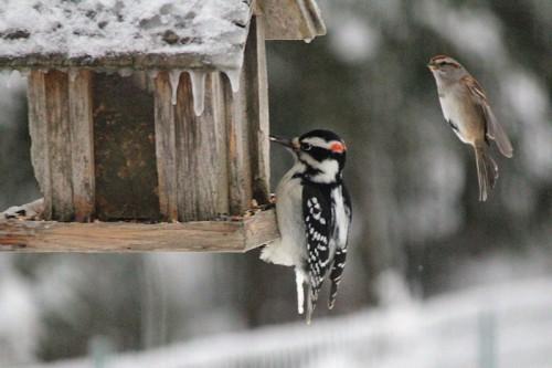 woodpecker-026