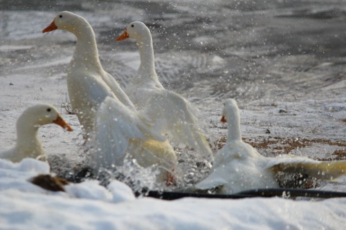 ducks-045