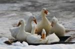 ducks-051