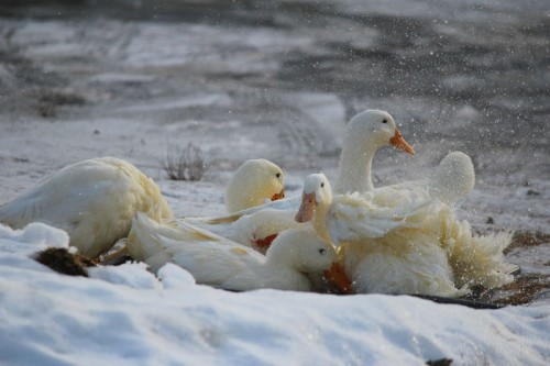 ducks-112