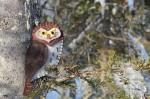 pygmy owl pattern