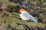 boreal-chickadee