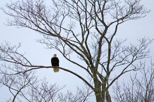 eagle-186