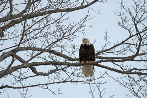 eagle-356