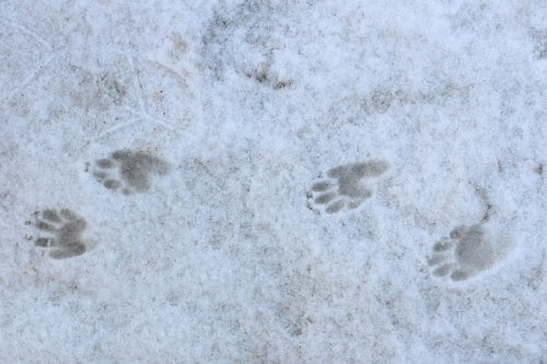 skunk tracks