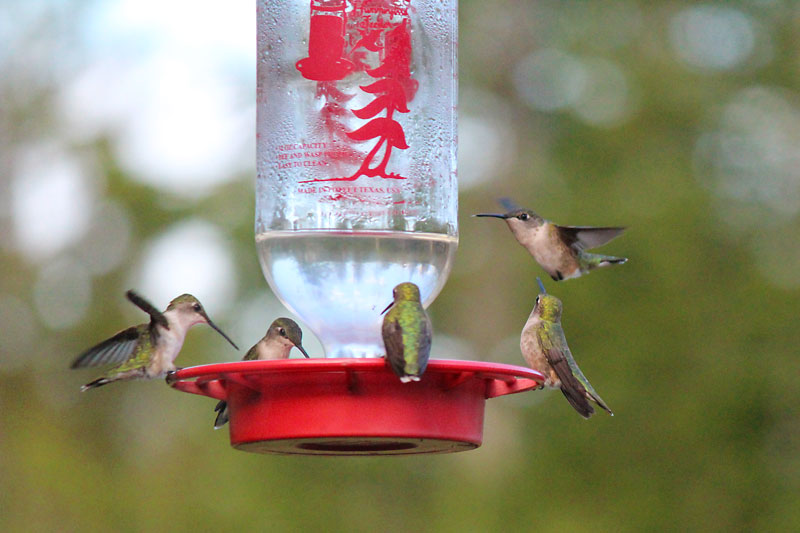 Hummingbird Feeder Cleaning