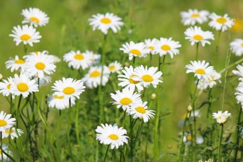 wild daisys