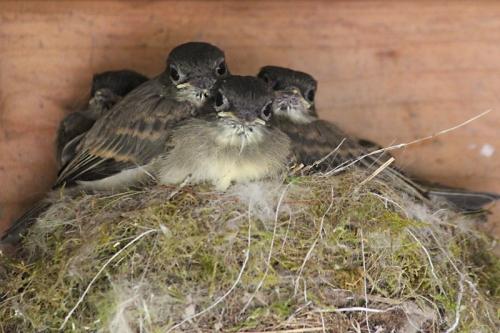 baby phoebe fledglings