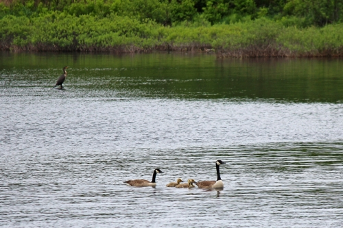 geese-005