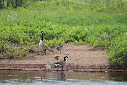 geese-253