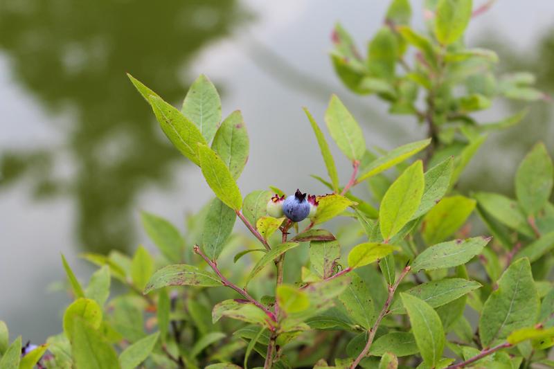 The Battle for Blueberries