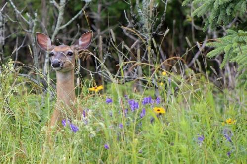 deer in Eastport