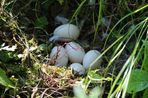 a clutch of duck eggs