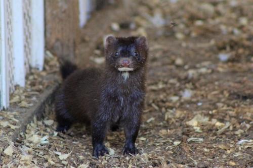 a maine mink