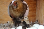 bantam hen with chicks