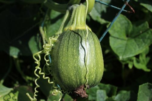 pumpkin growin in cucumbers