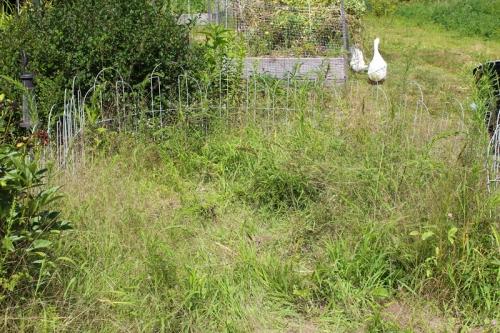 weedy garlic patch